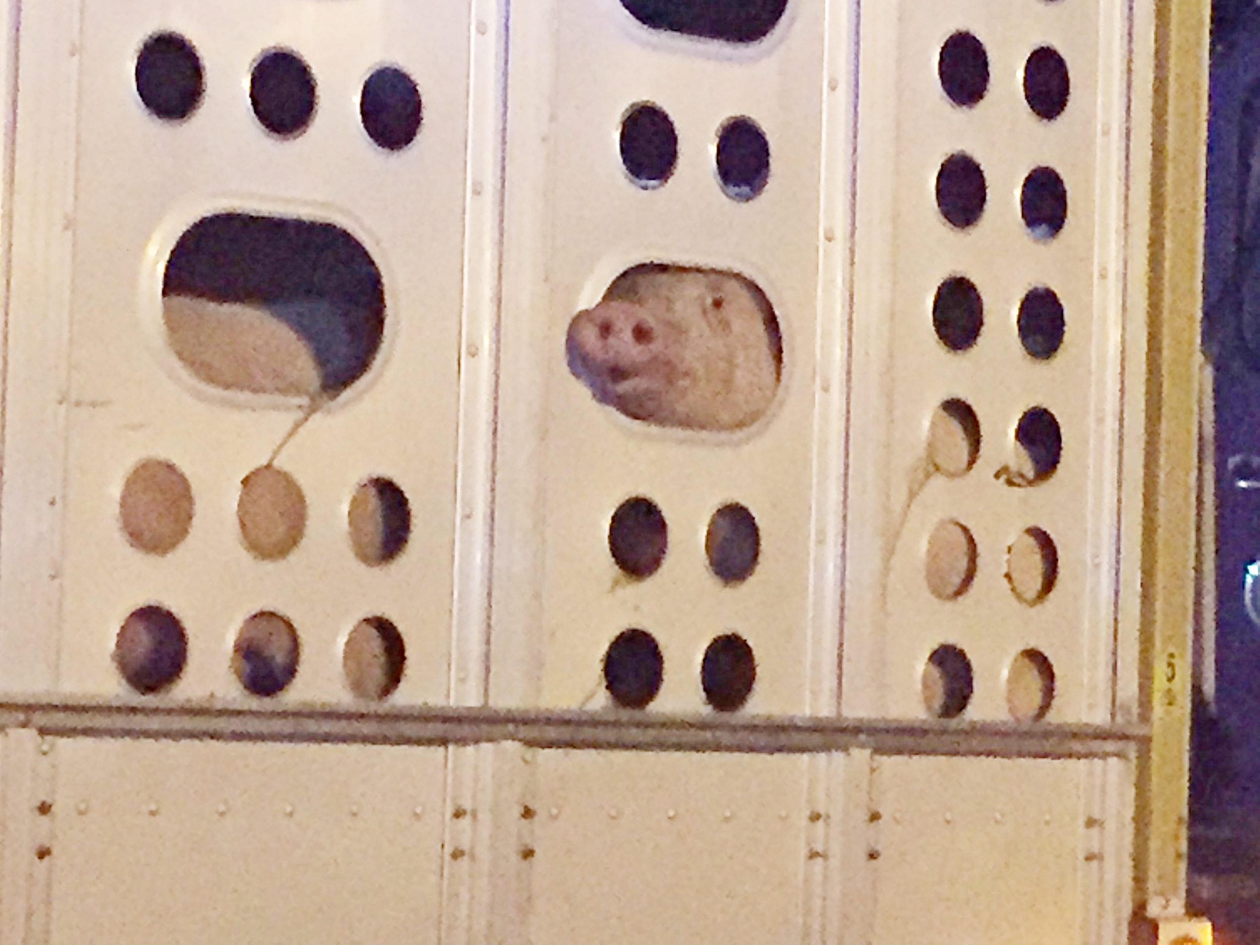 A terrified pig desperately peers out of a ventilation hole seeking help