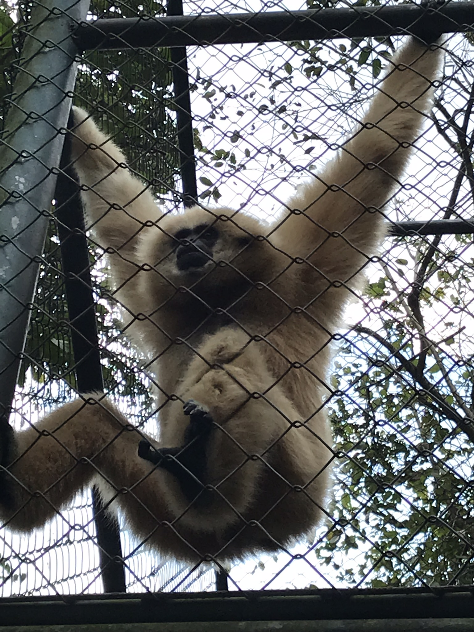 One of the many rescued gibbons at WFFT