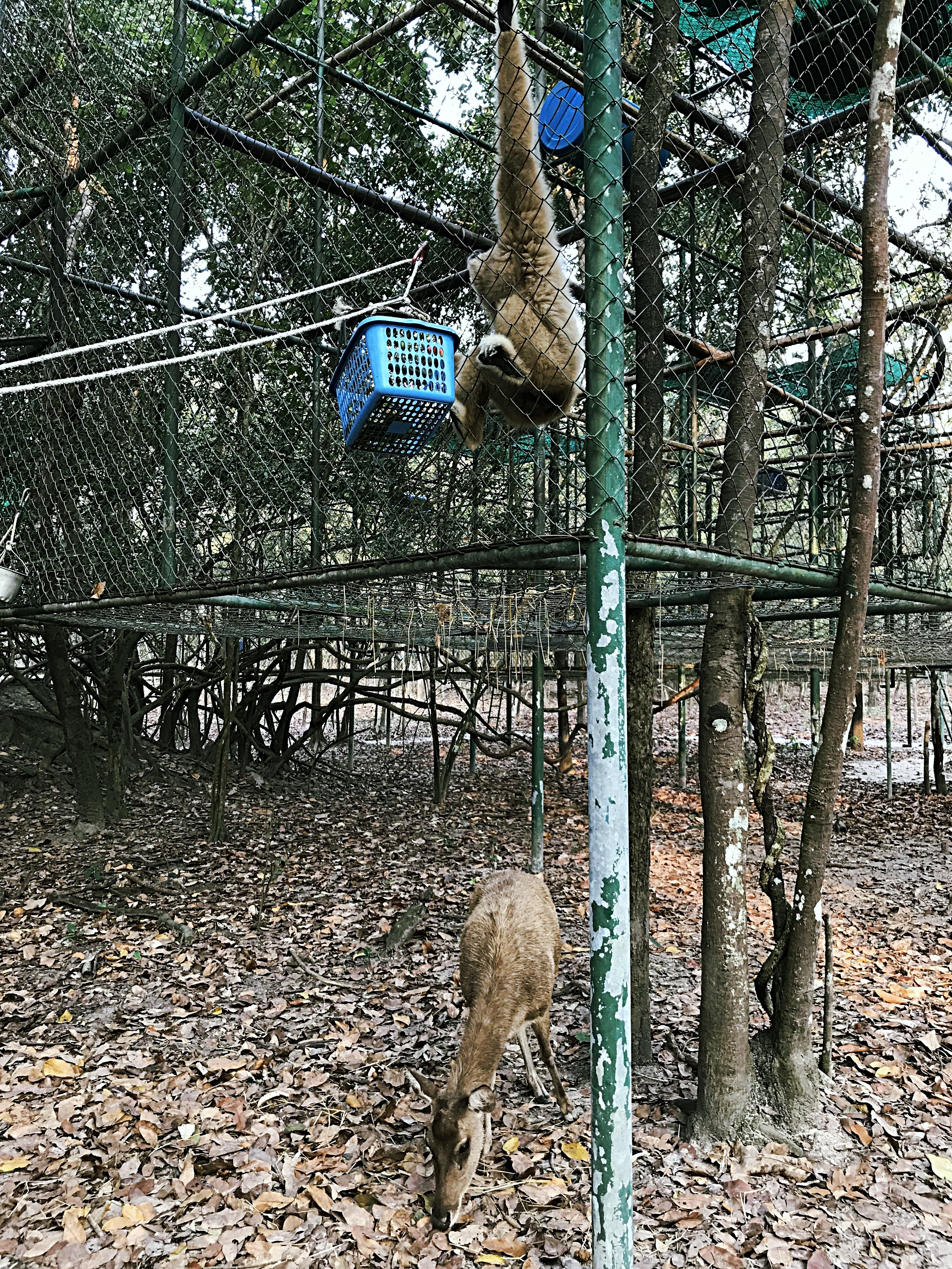 Deer catching the food that the gibbon dropped
