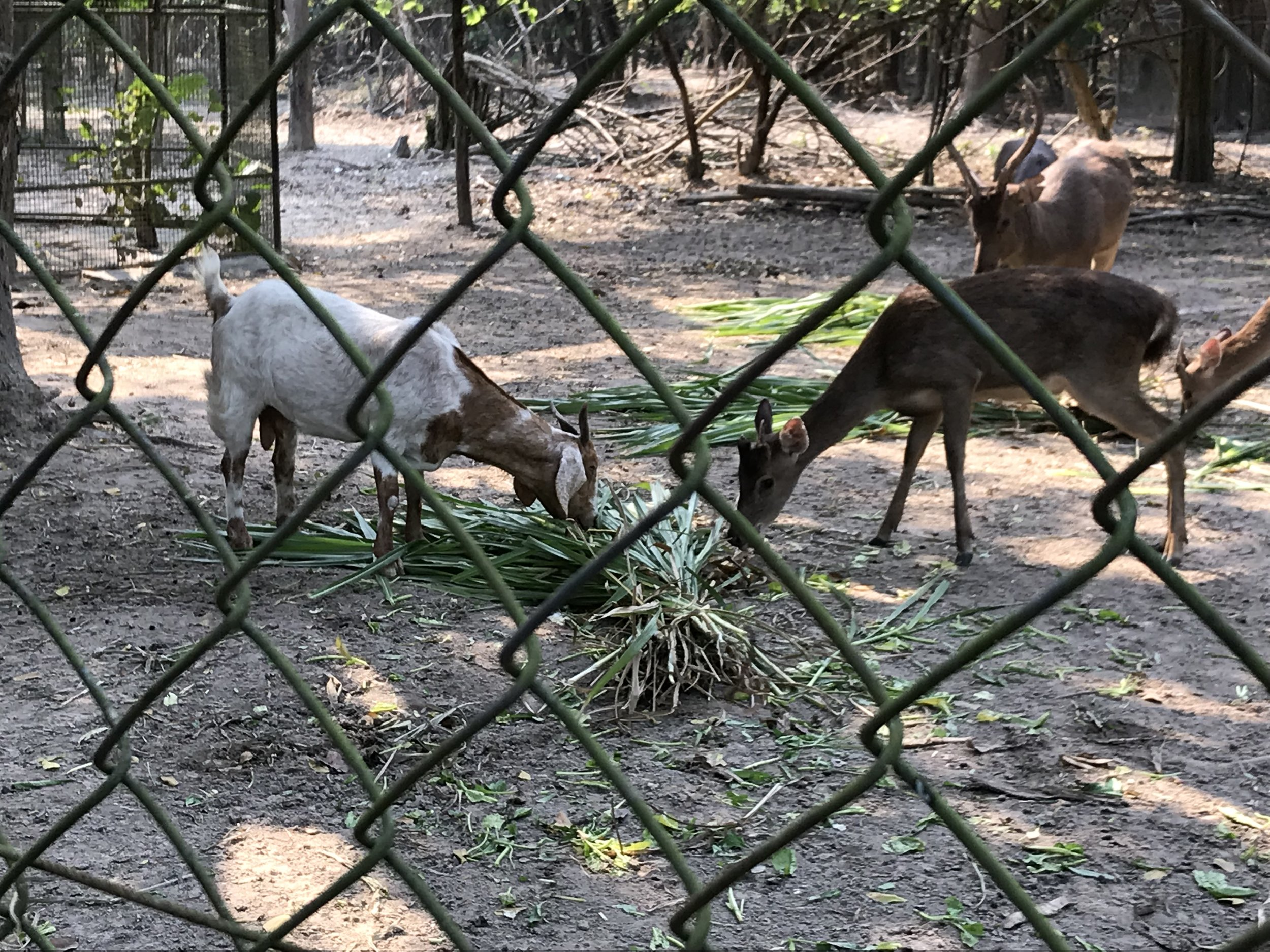Just a goat and deer sharing a meal
