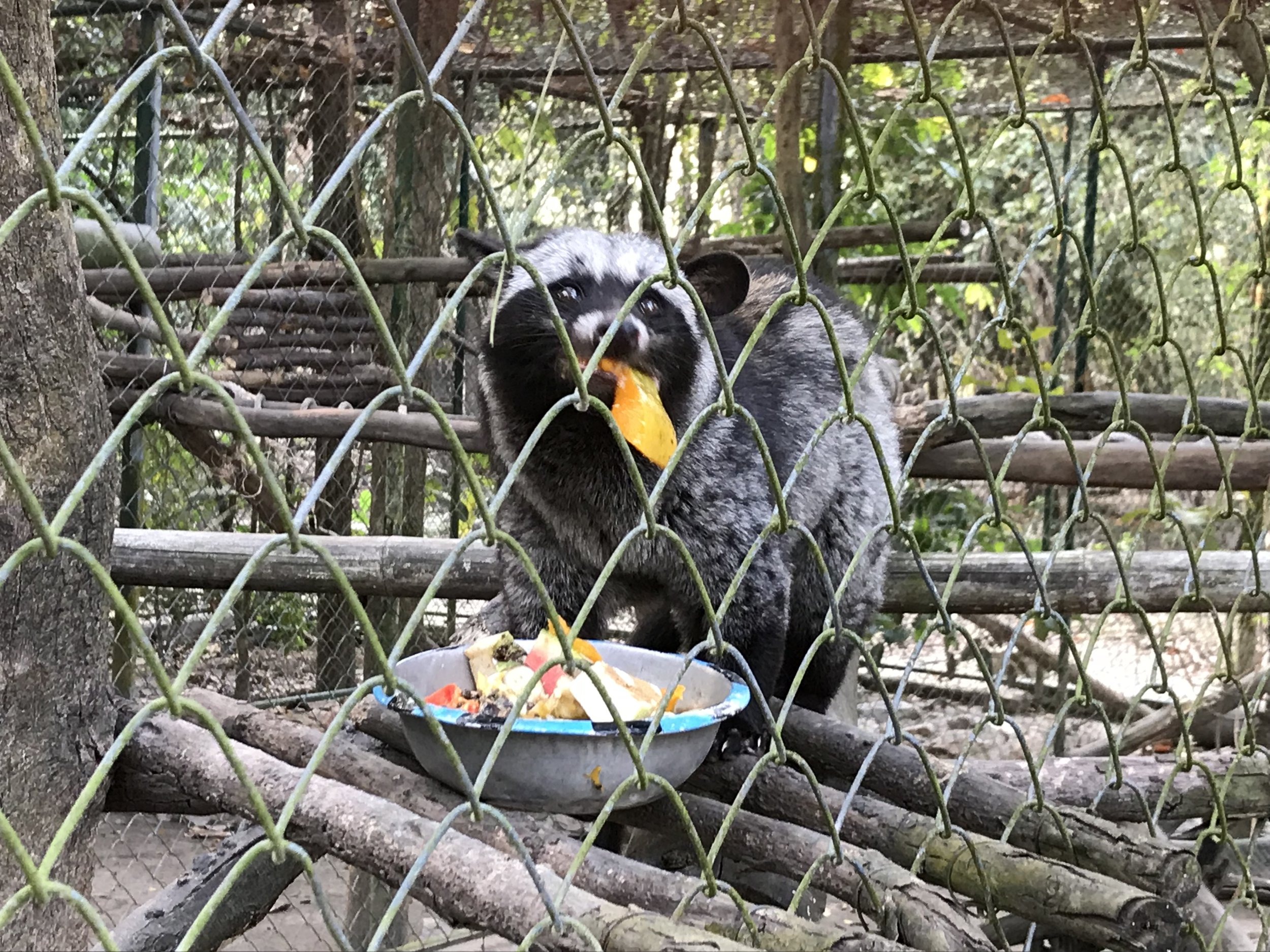 Chow time for the civet
