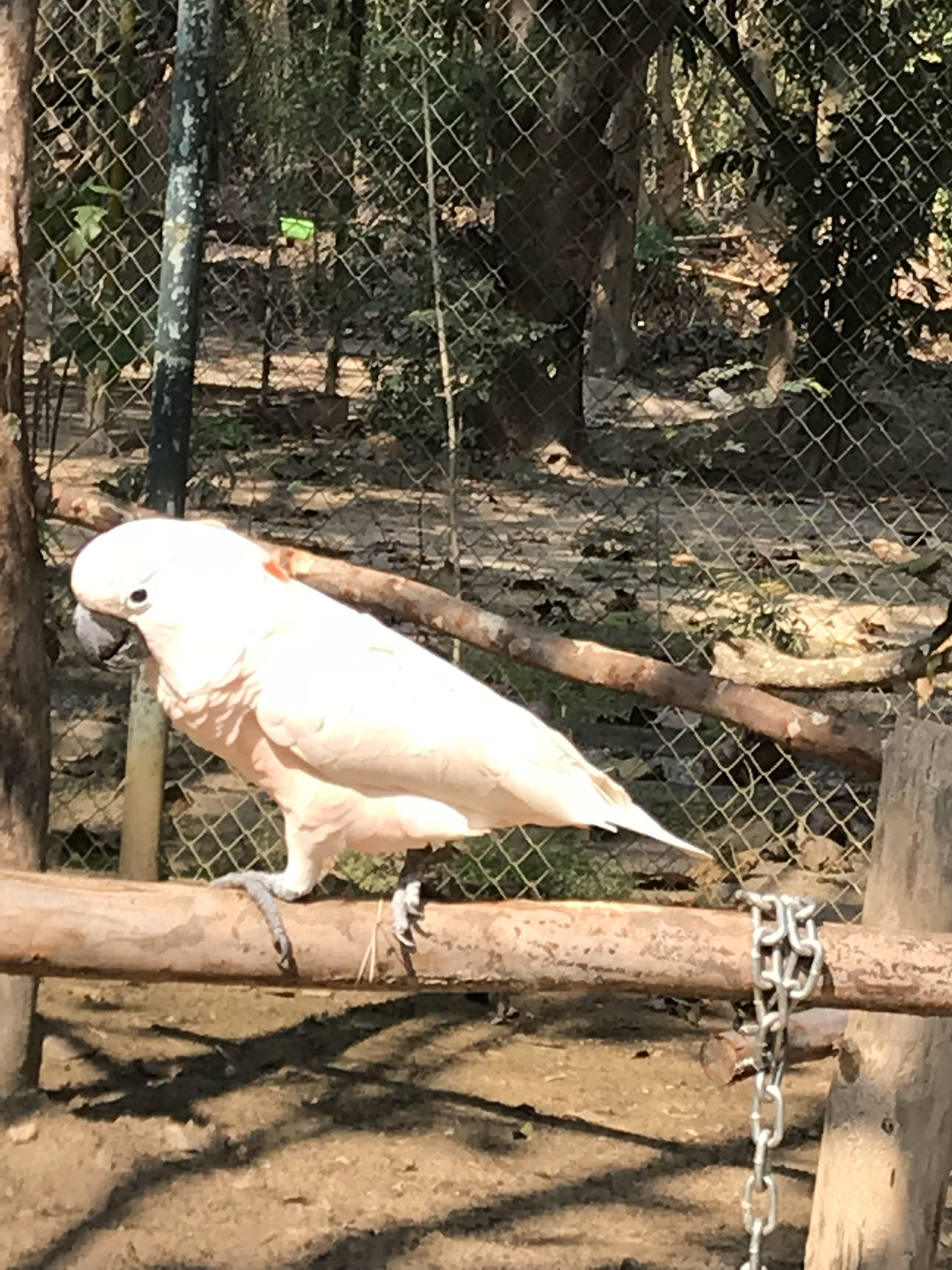 Cockatoo who shared an enclosure with a macaw and eclectus parrot