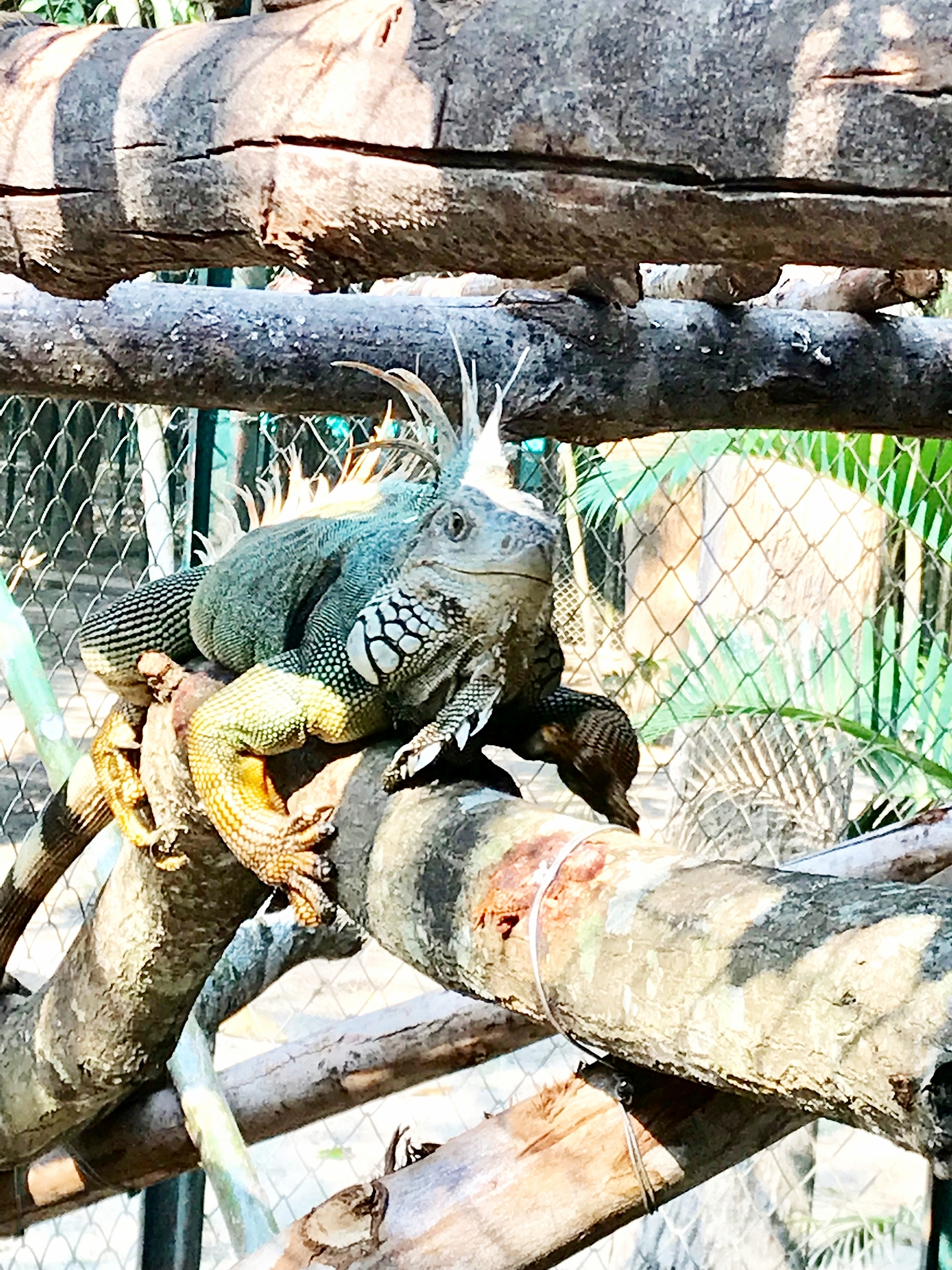 One of the resident iguanas at WFFT