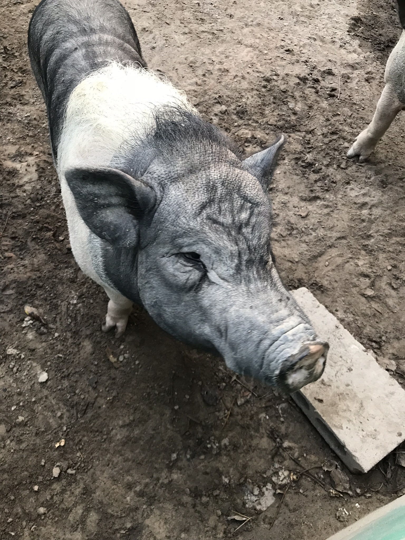 One of the many piggies at WFFT