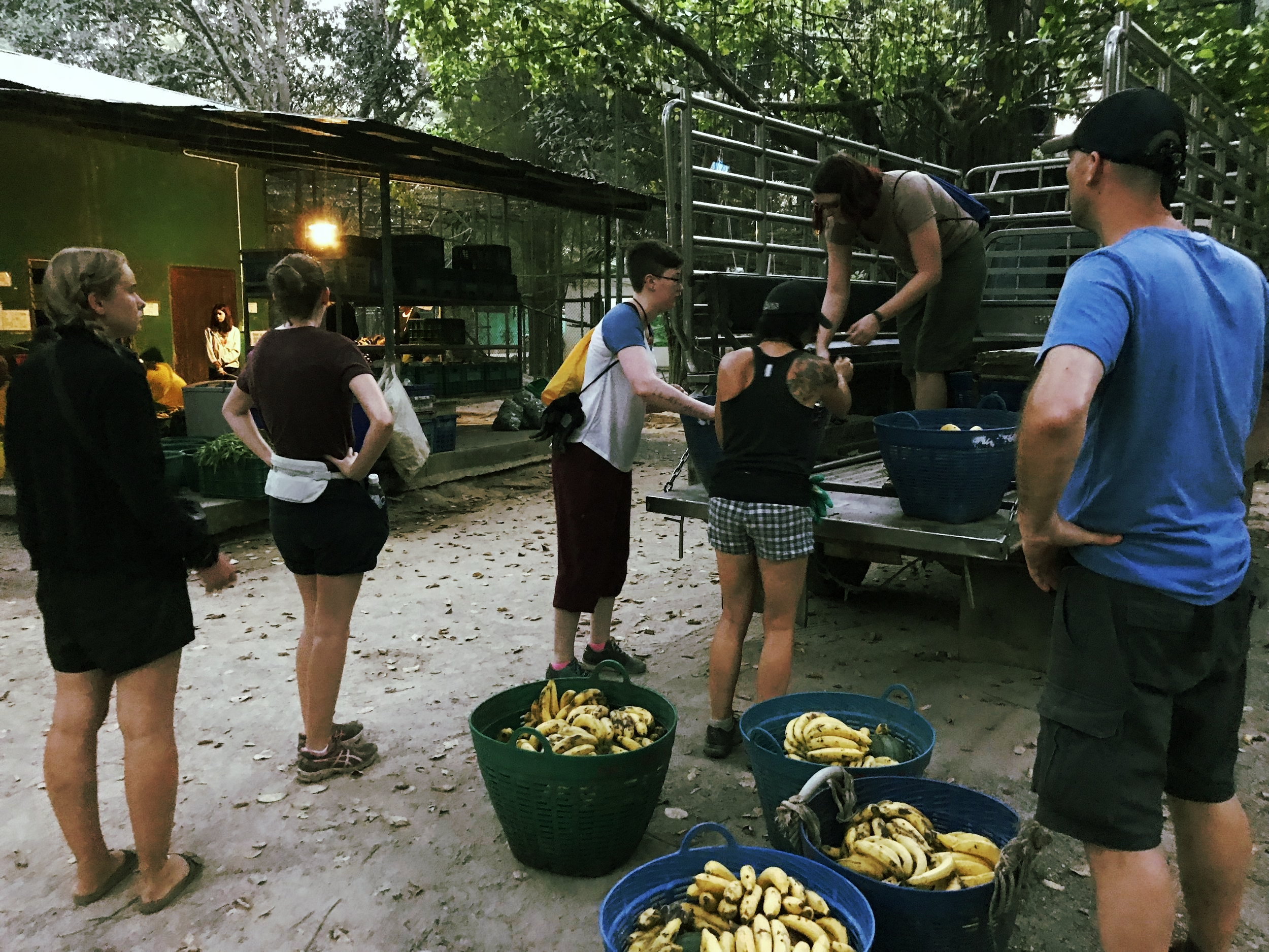 Morning routine: Loading the fruit baskets for the elephants