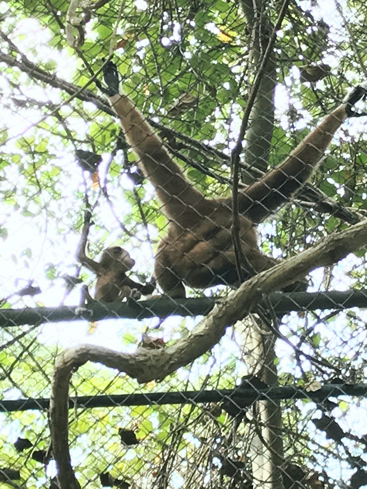 Momma gibbon and her baby at WFFT