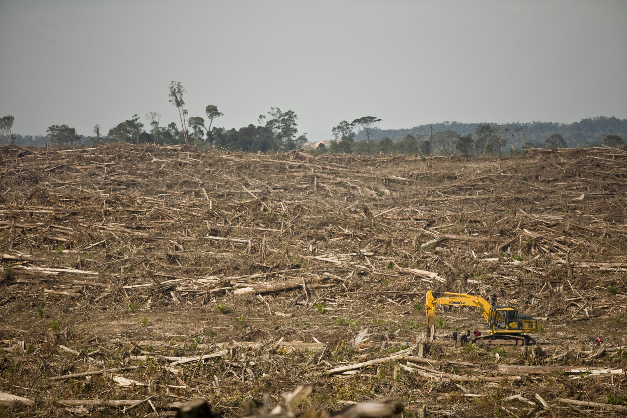 Primary rainforests destroyed for palm oil plantations