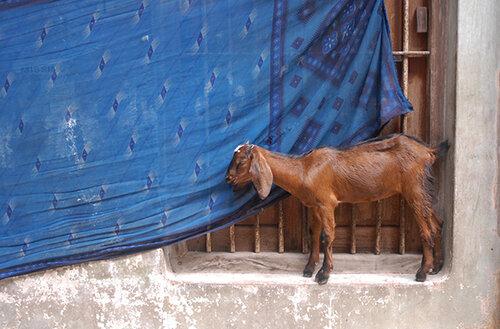Luís Carvalho Barreira  cabra  Varanasi, 2008  Fotografia  arquivo: 2008_08_15_NIK_0100  câmara: Nikon D200