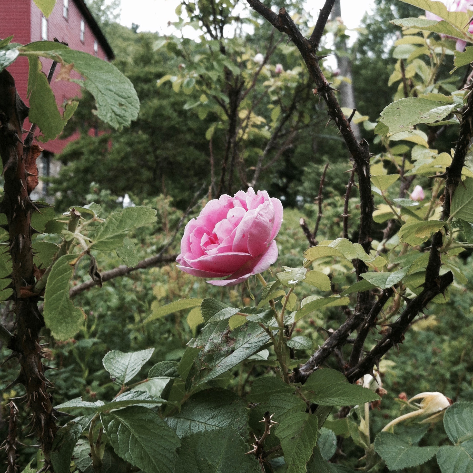 An appropriate reminder of the Season of the Rose Summer School. — N.M-Y. '15