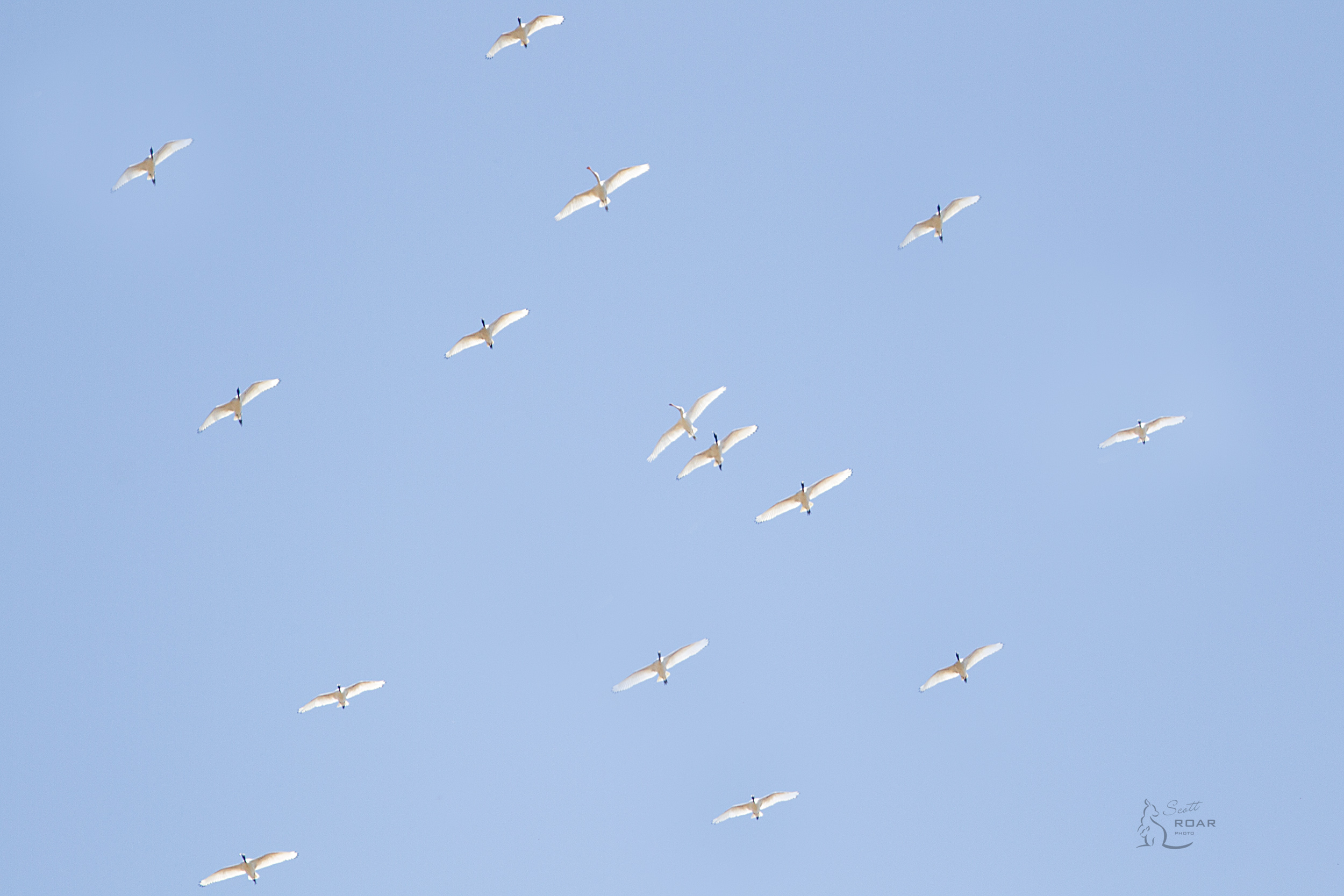 A flock of Ibis flying over with 2 Spoonbills mixed in, can you spot them?