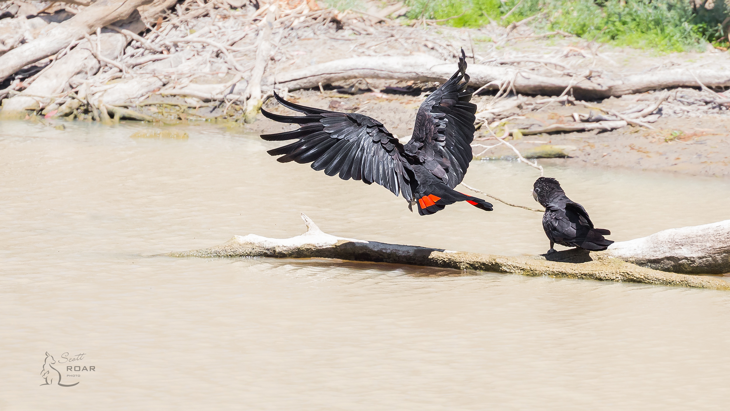 A pair of Red-tailed Black Cockatoos on the way to Narrabri.