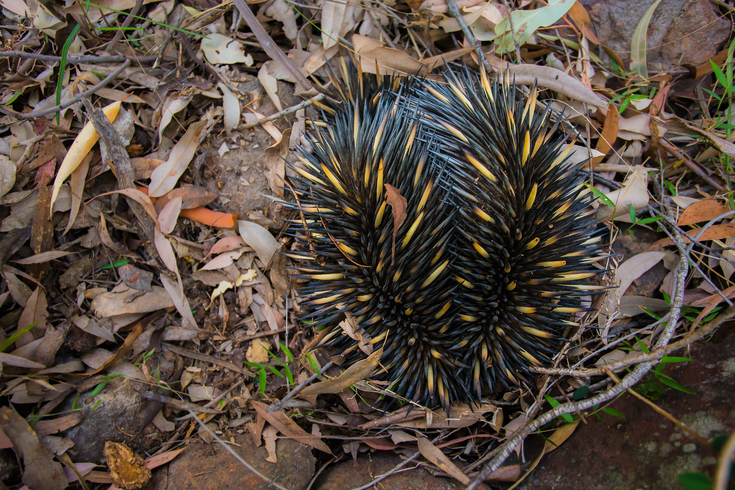 Echidna found in Waa Gorge.