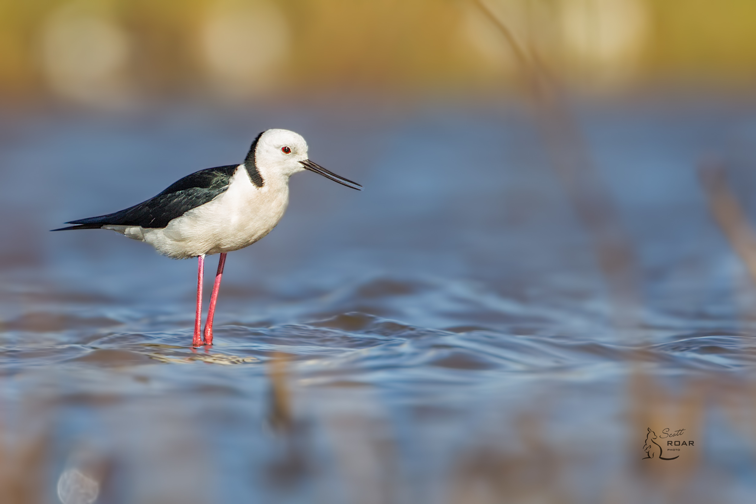 A Black-winged Stilt  found at Narrabri Lake.