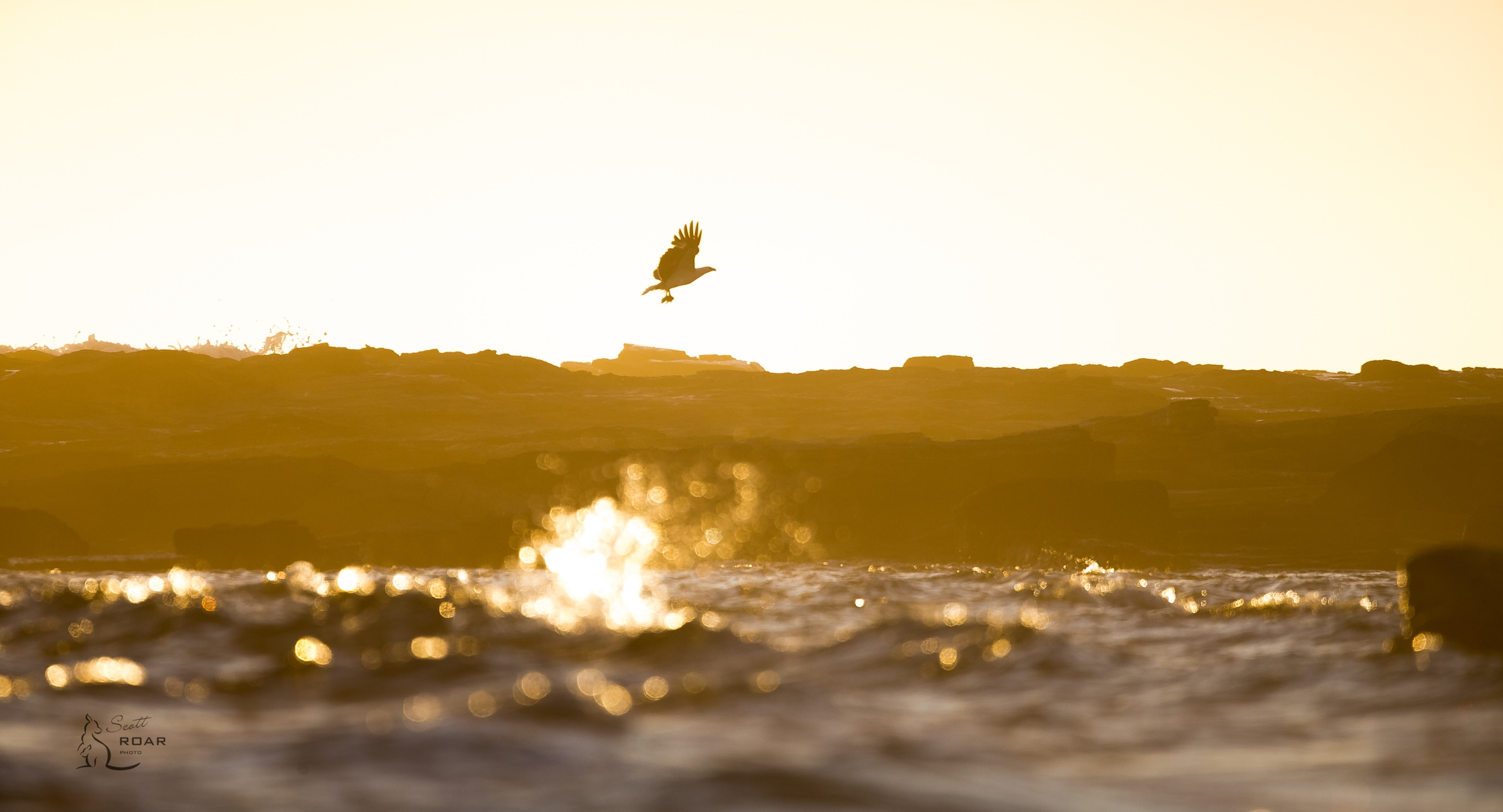 Sea Eagle with breakfast at Sunrise.