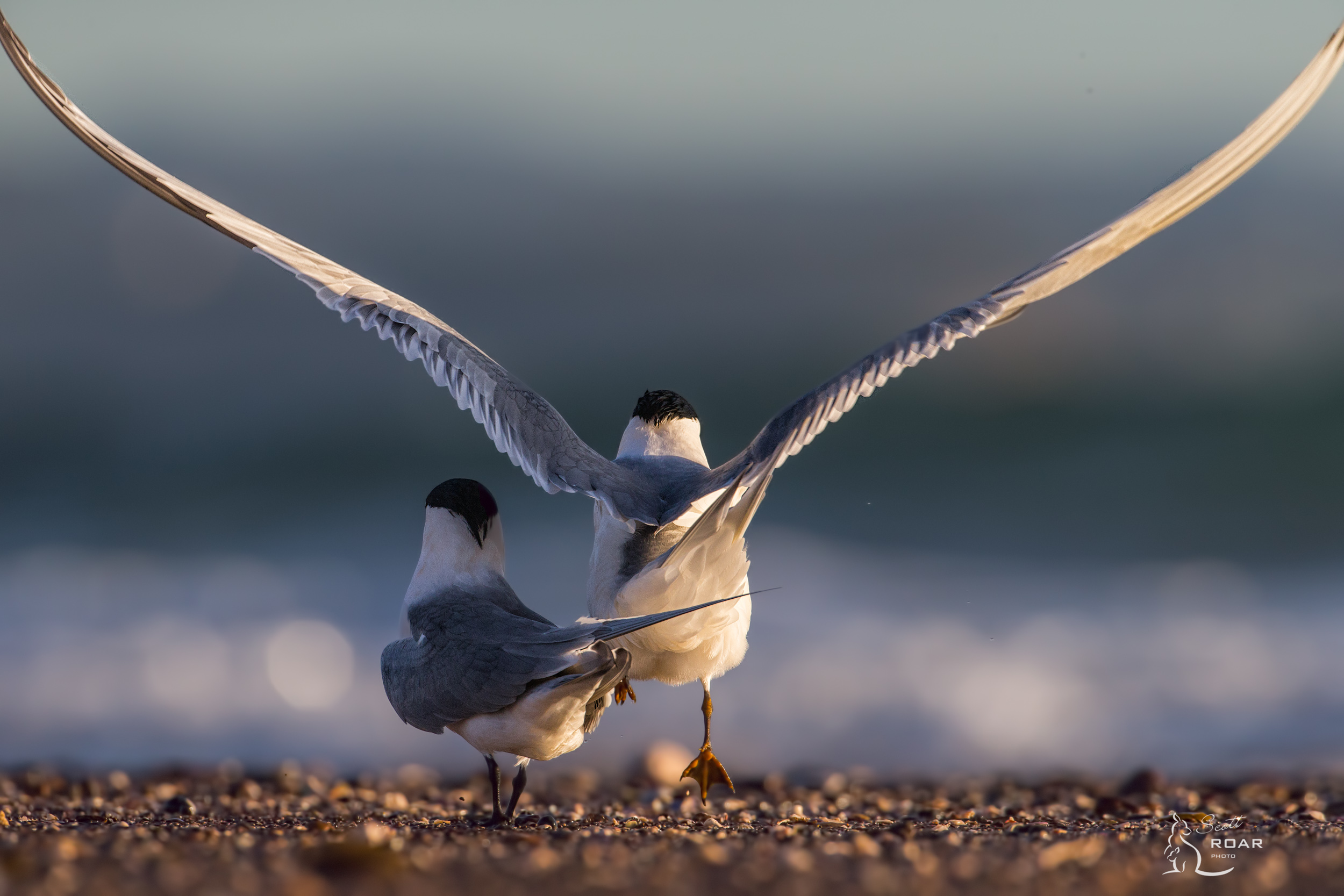 Crested Terns during a mating display.