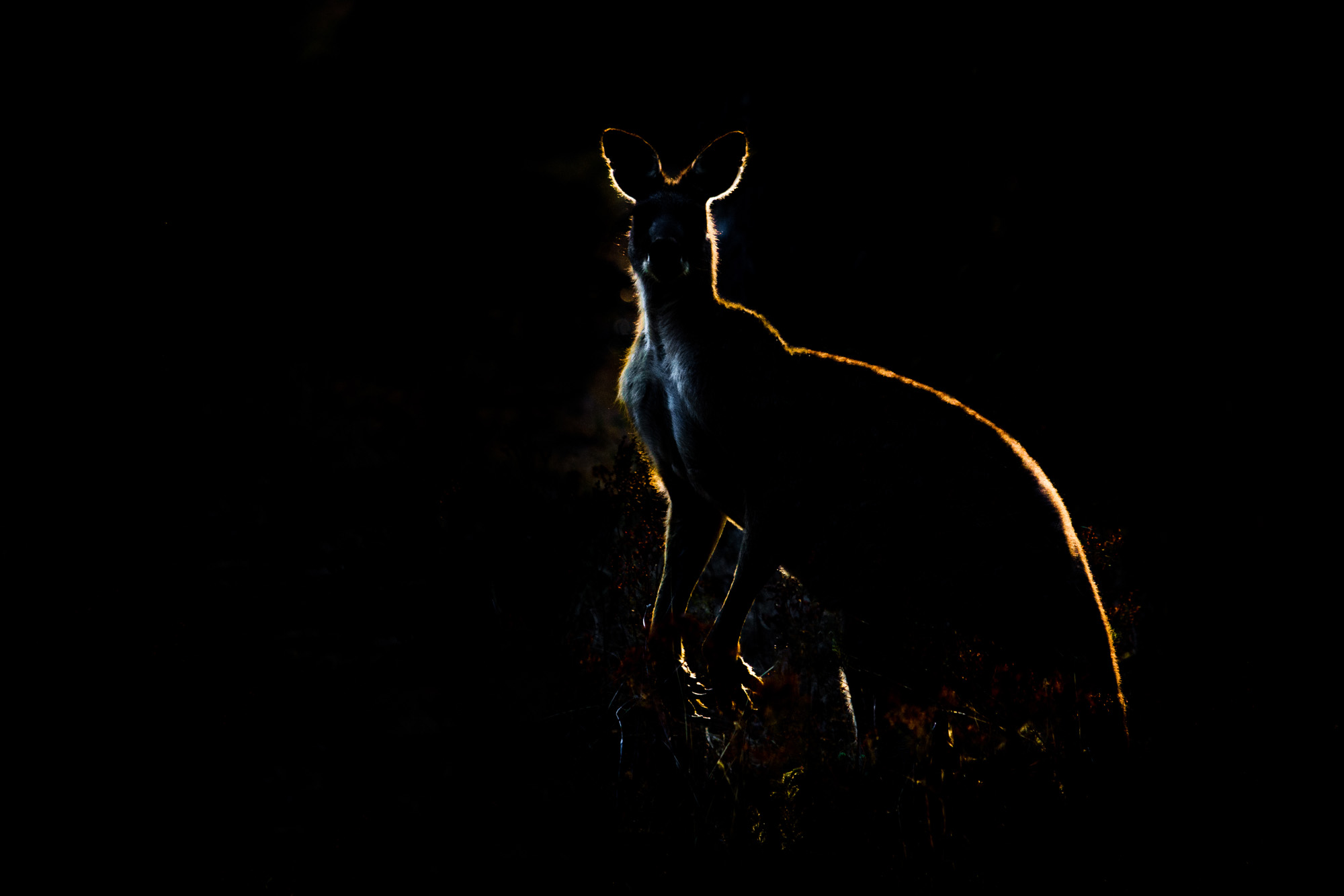 grey kangaroo male back lit.jpg