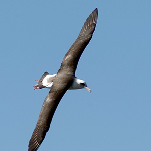 The Albatross of Kauai