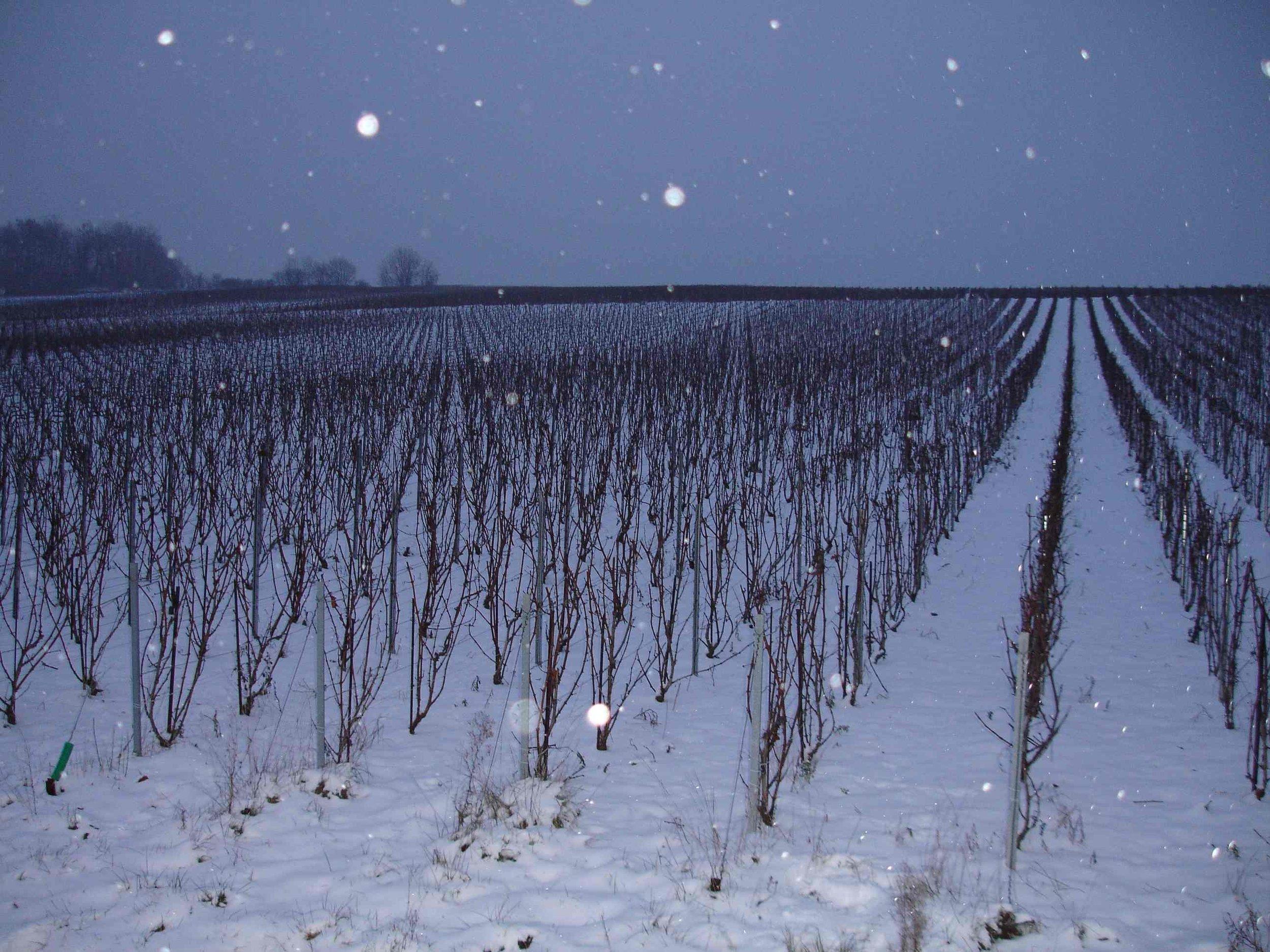 Winter Vines light.JPG