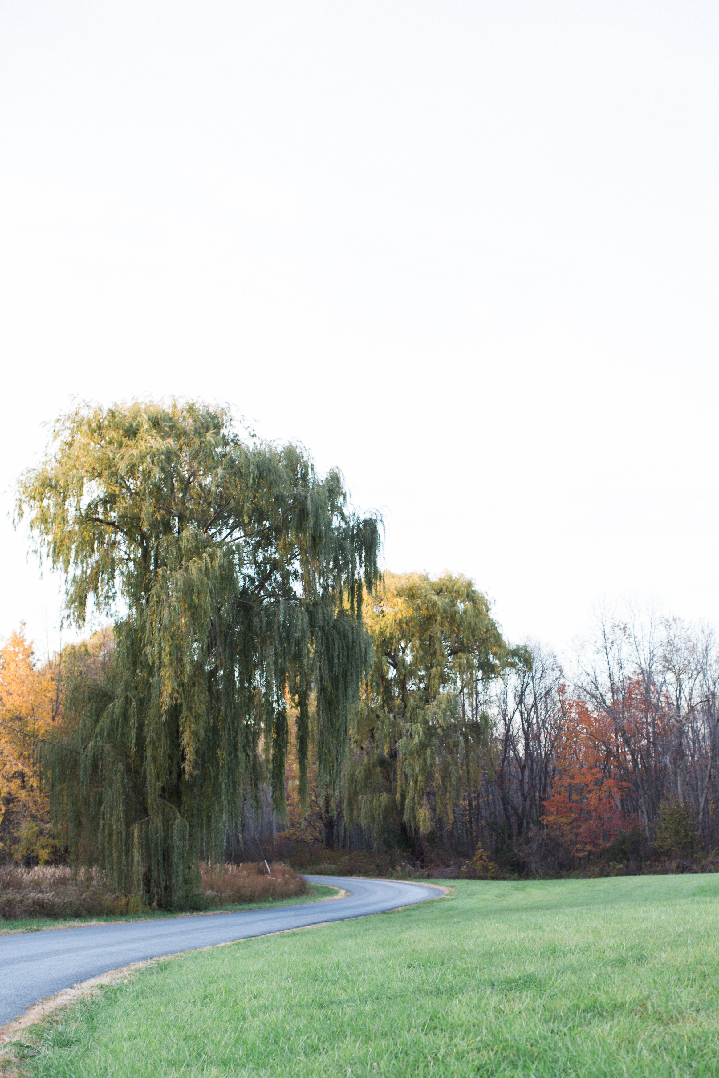 The willow trees