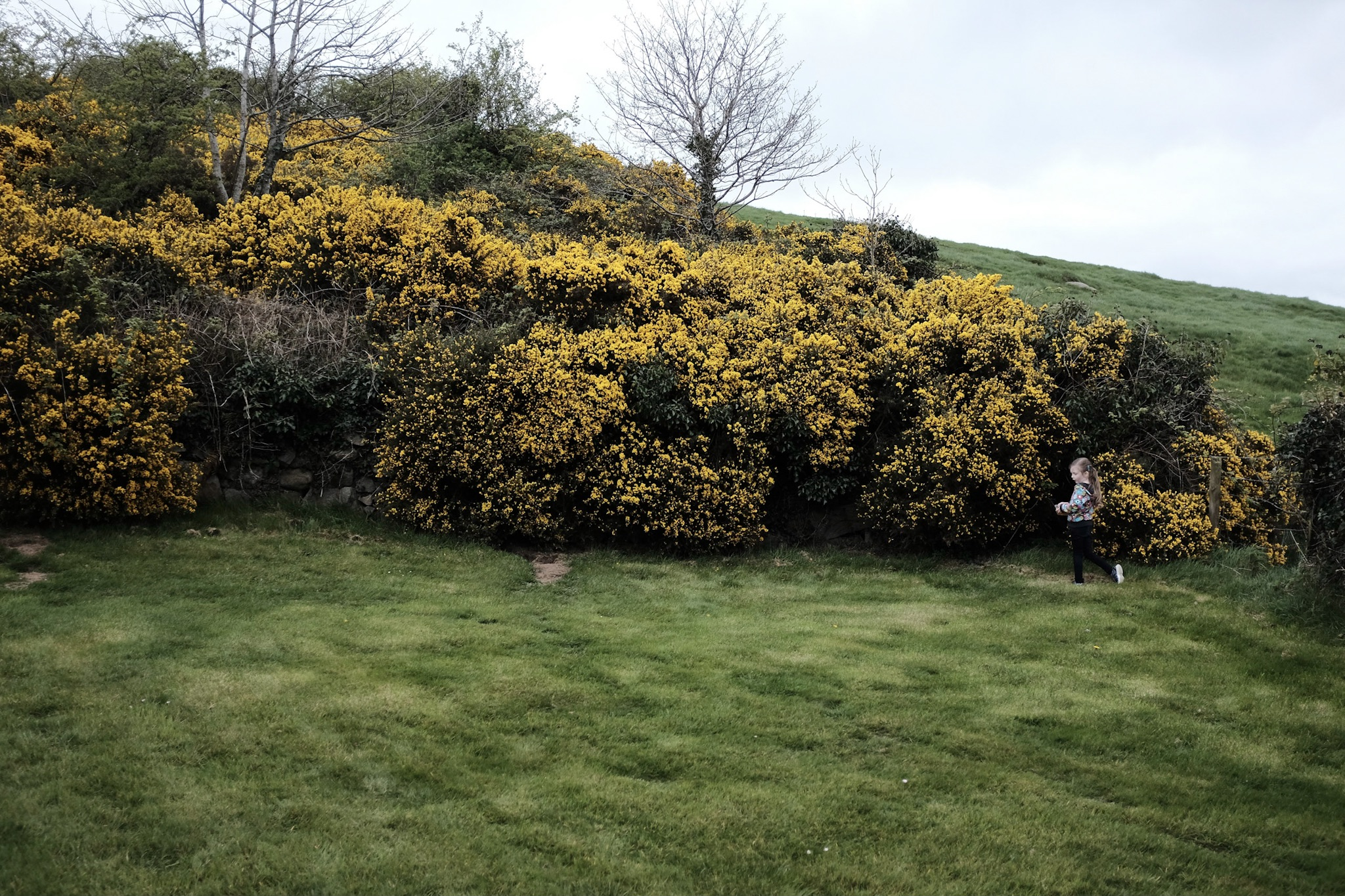 Lots of whin bushes.