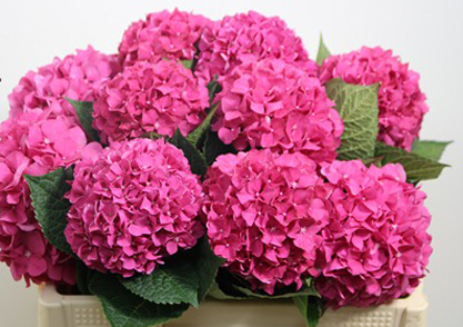 3-Hydrangea-glow-alps-rose-dark-pink.jpg