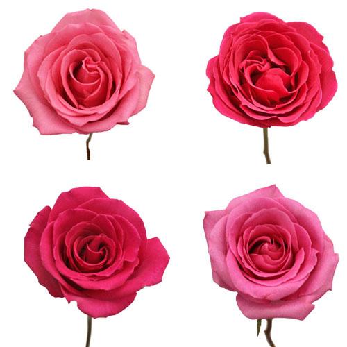 16-Hot_Pink_Rose_Standard_500_438b3e2f.jpg