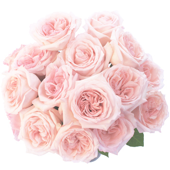 19-Baby-Pink-Garden-Roses-350.jpg