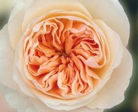 Peach-Garden-Rose.jpg