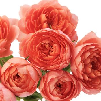 Bright-Orange-Peach-Garden-Wedding-Rose-350.jpg