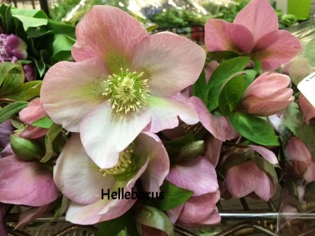 01-helleborus pink march.jpg