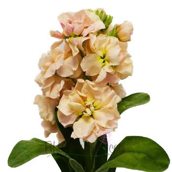 26-peach-stem1-350.jpg