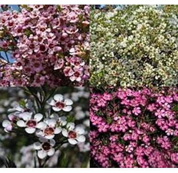 02-waxflower.jpg