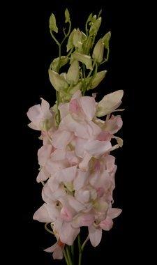 01-orchids-dendrobium-blush-pinkpeach-pinky-peach-marco-polo-sugar-white-suree-peach-pack-8_2406_400.jpg