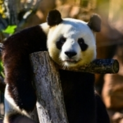 """""""pandas are the worst! Or how your outdated ideas are holding you back"""" Medium"""