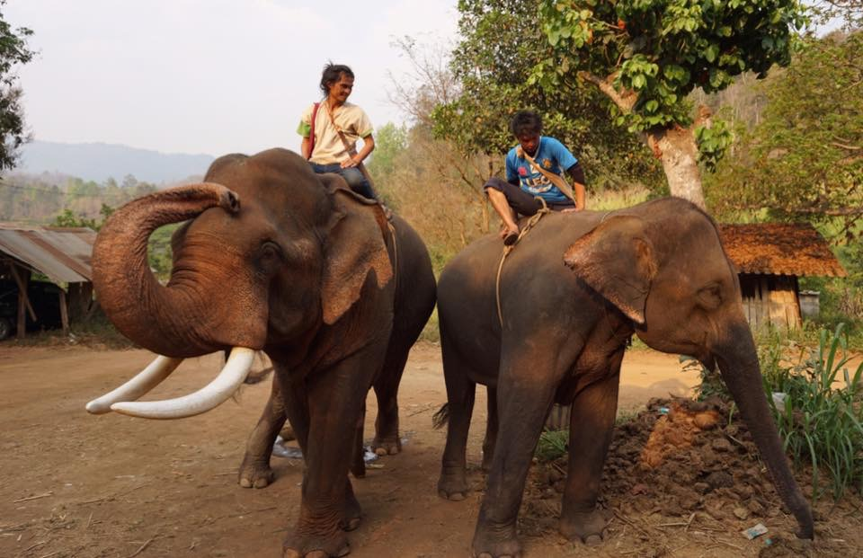 Nanalu (tusks) and Bon Jun with their mahouts after we had finished our trails - they looked at home together!