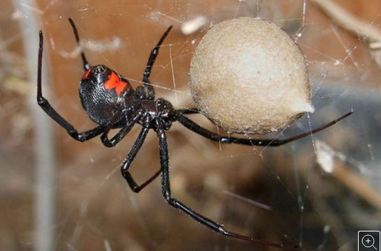 black widow with hour glass marking