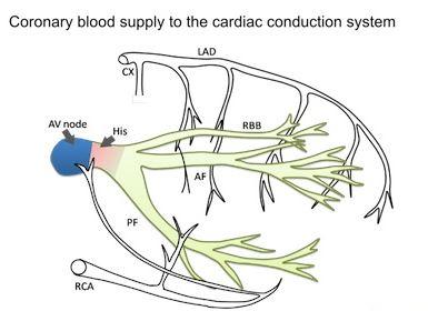 blood supply.JPG
