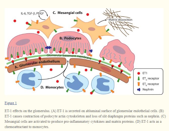 endothelins produce fibrosis.JPG
