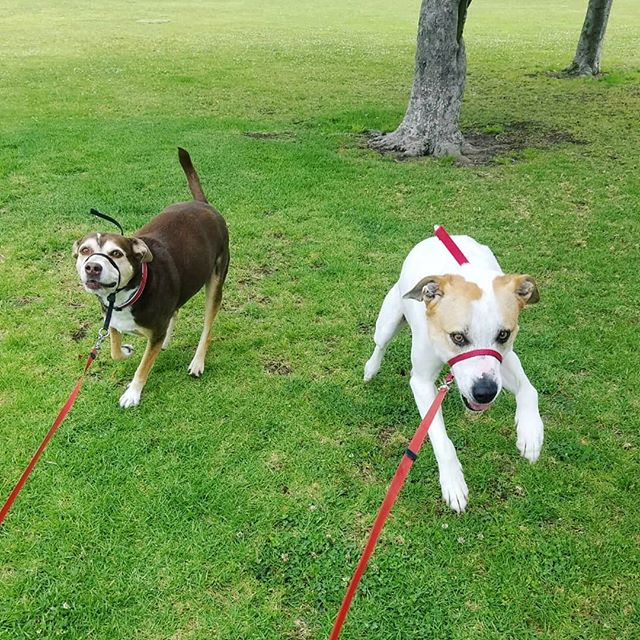 These girls are always ready to go when I arrive! We have so much fun on their late morning adventures 🐶😄🌳🐶. . . . #summerandmaisey #playtime #pupadventures #exercise #rescues #ohhappydog #bondedandinsured #dogwalkers #petsitters #pettaxi #sandiego #tierrasanta #dogsofsandiego #dogsoftierrasanta #furfriends #dogsofinstagram #furkids #dogwalking #petsitting #dogs #cats #pets #instadog #dogstagram