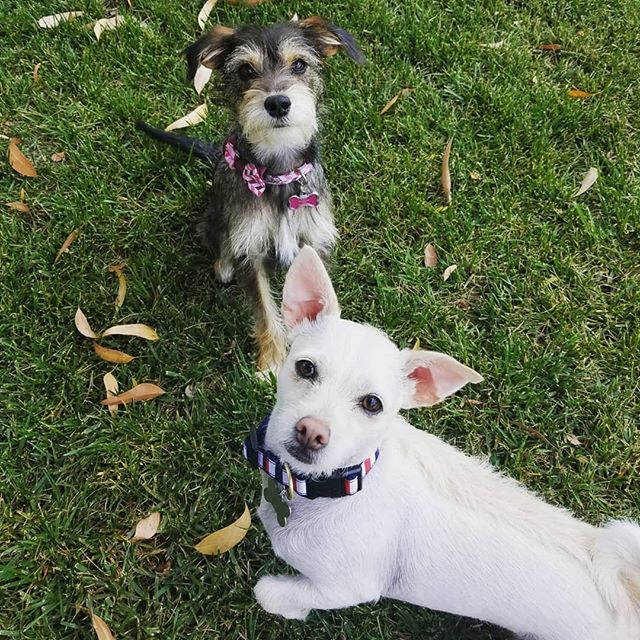 Zeke and Zoey! Our new fur friends ready for their afternoon playdates! These two together are so much fun, chasing each other, and playing with their pup toys...and of course they're way too cute 😙. . . . #ZekeandZoey #readytoplay #toocute #puppals #ohhappydog #bondedandinsured #dogwalkers #petsitters #pettaxi #sandiego #missionvalley #dogsofsandiego #dogsofmissionvalley #furfriend #dogsofinstagram #furkid #dogwalking #petsitting #dogs #cats #pets #instadog #dogstagram