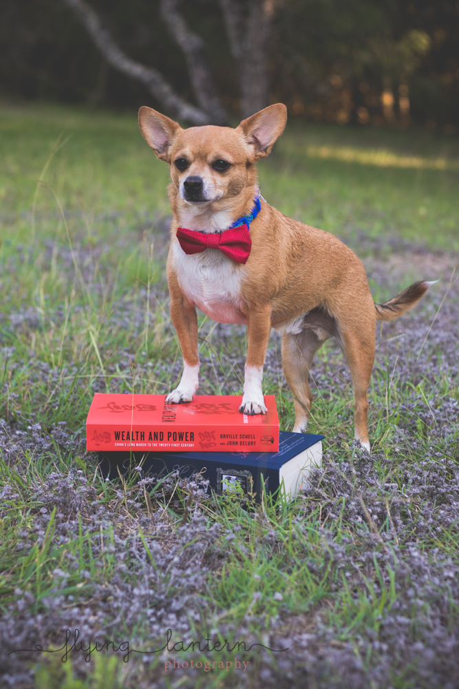 chihuahua wearing bowtie with paws on book in a park