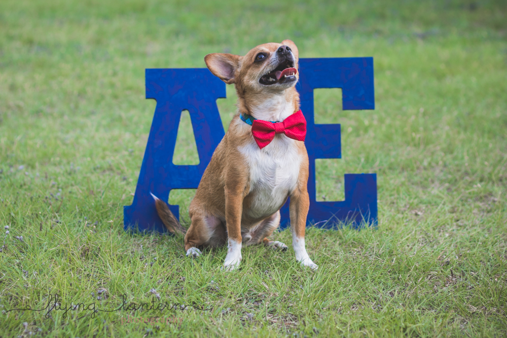 happy chihuahua standing in front of letters wearing bowtie