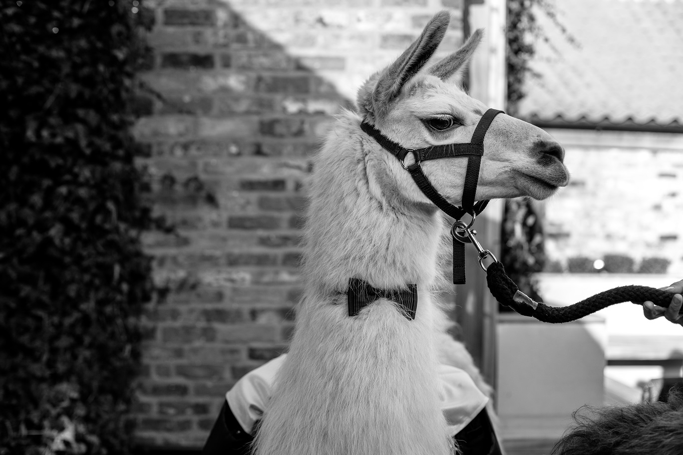 The name's Llama... Photo by www.sansomphotography.co.uk