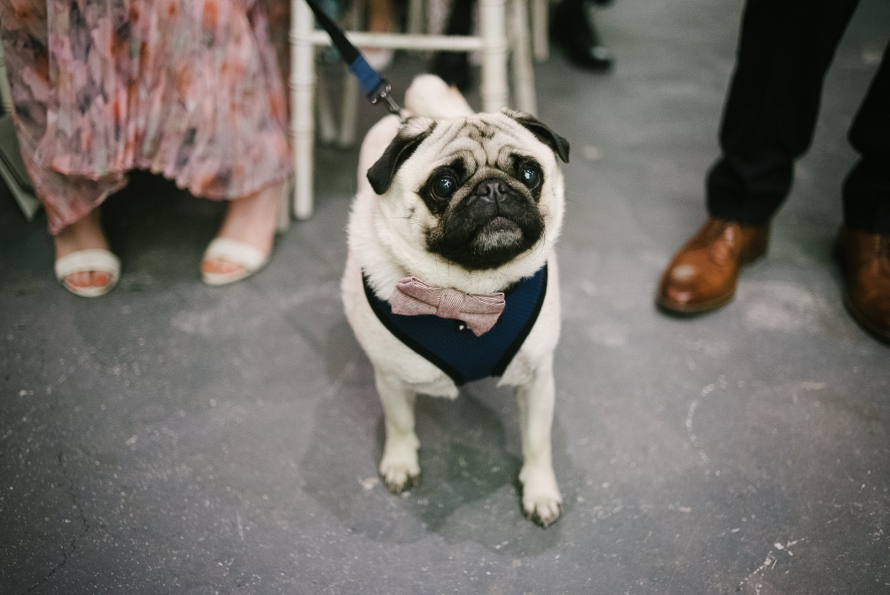 Douglas the Pug at The Normans Photo by www.mjhstudio.co.uk