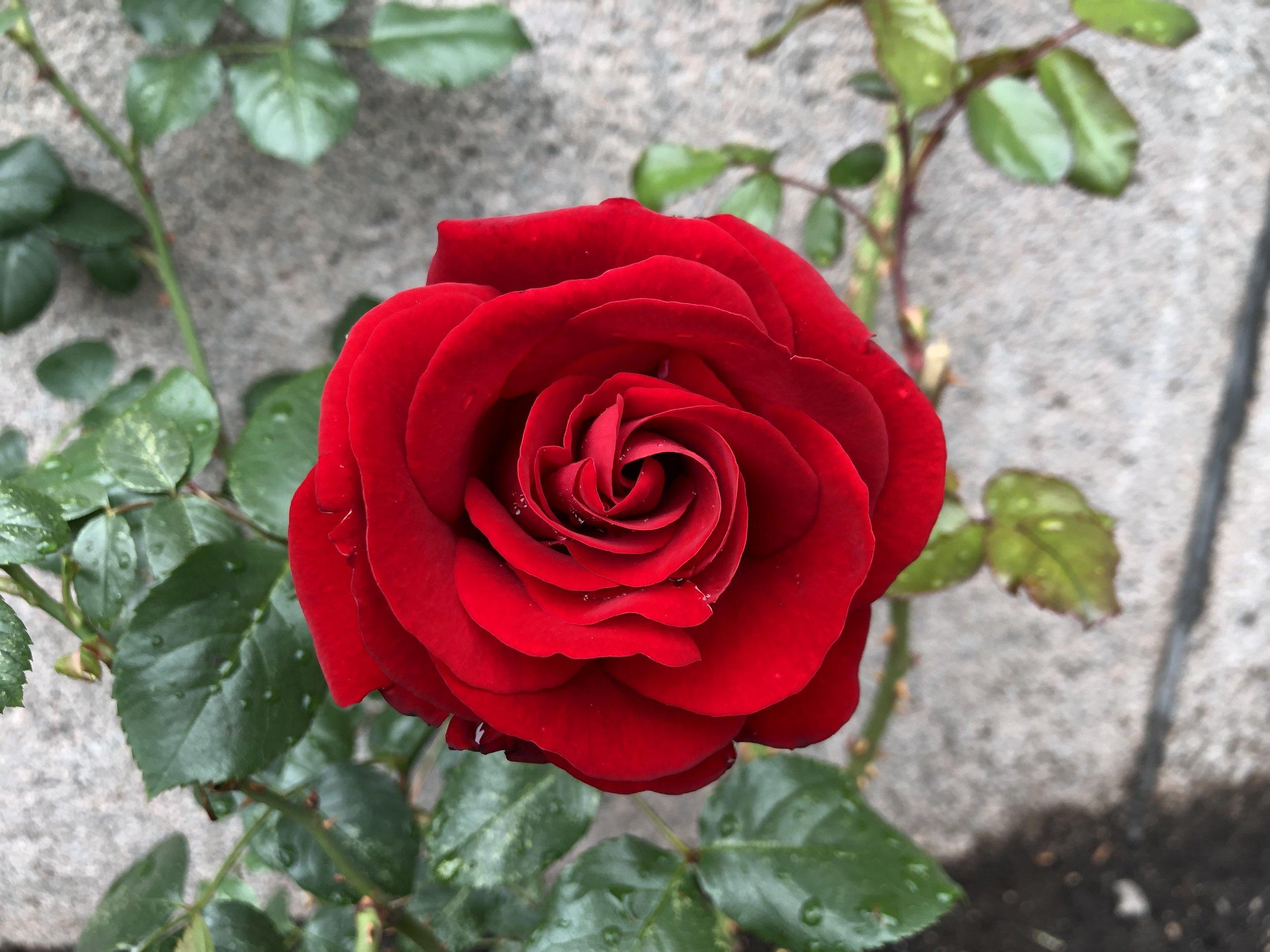 En rose vokser opp langs grunnmuren i Møllergata 18 over Youngstorvet.