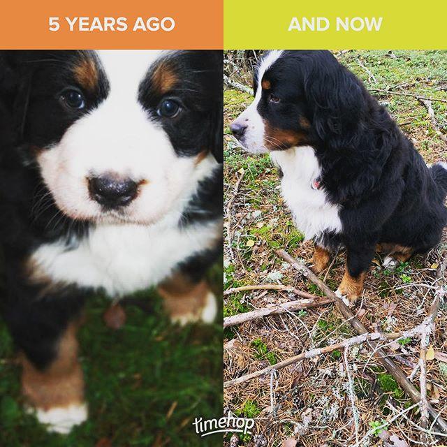 Fem år med hundrikedom! 😍 Snälla bästa Sally stanna inom 0,5 meter från mig i mer än fem år till 🙏🏻❤️ Älsk!! #bernersennen #hundrik