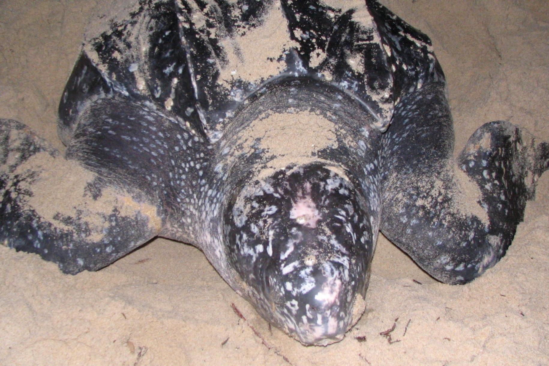 Matura Beach: Leatherback sea turtle.