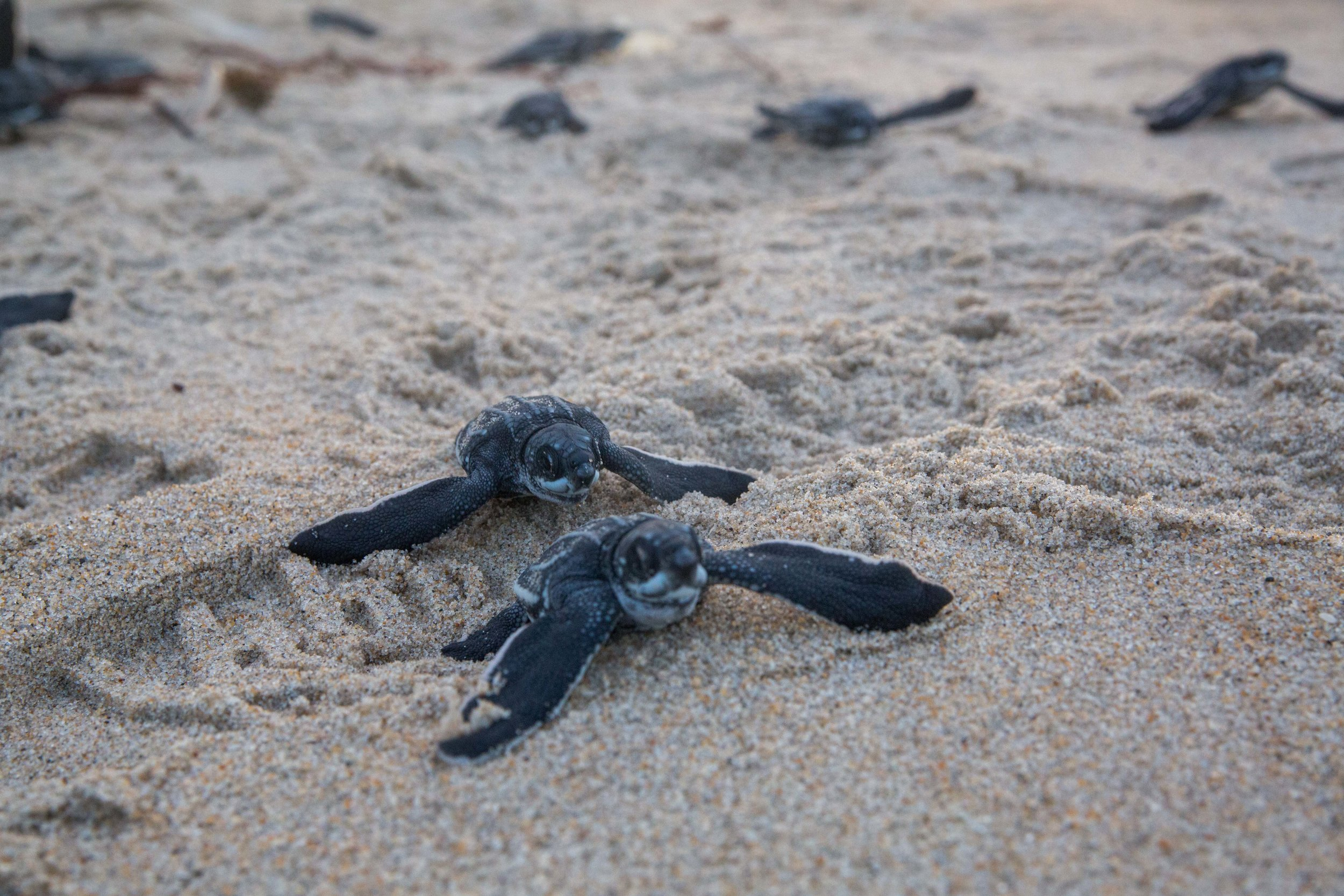 Turtles found during conservation work on our most recent Trinidad TEAM adventure.