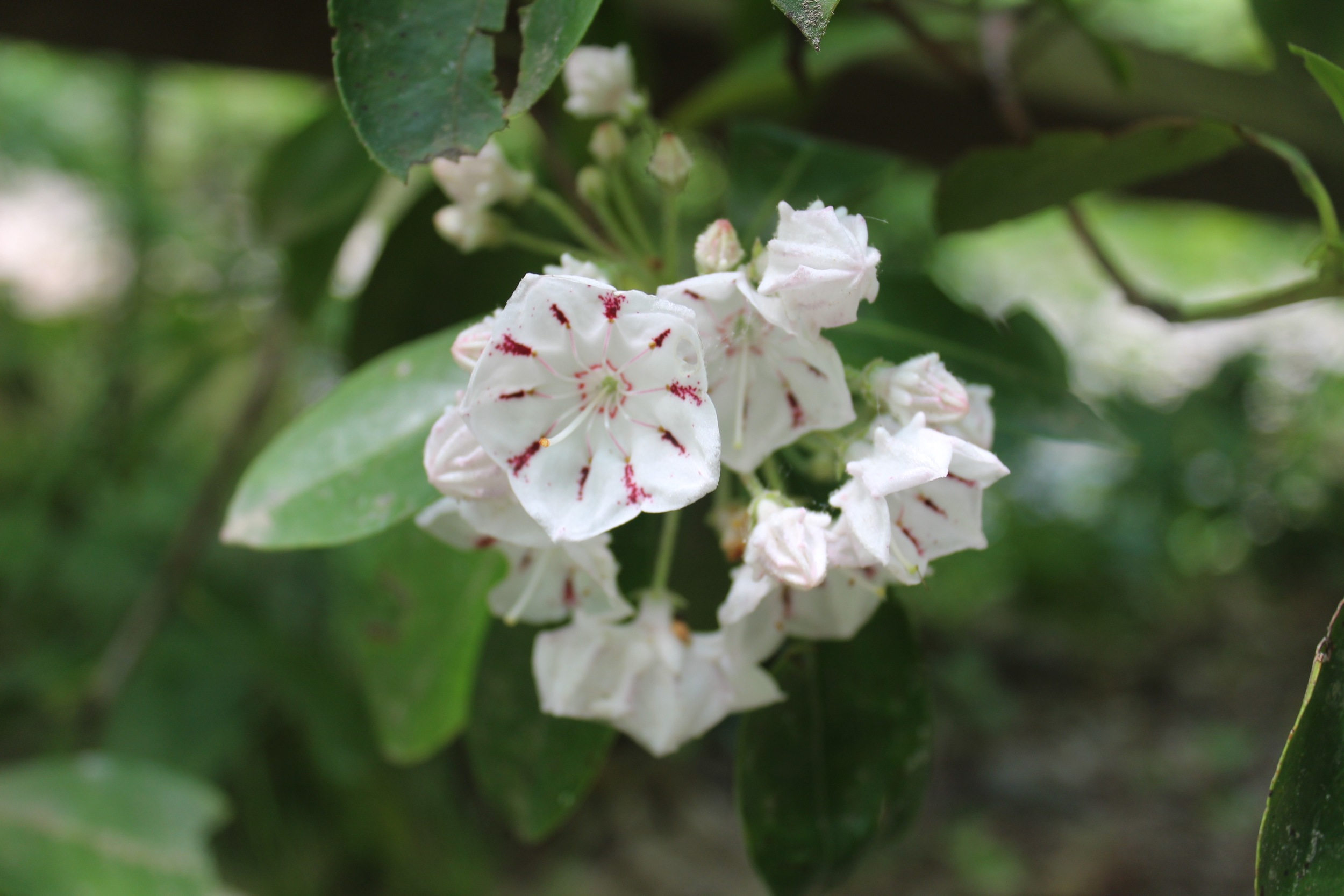 Laurel of The Woods at Asheville Botanical Garden