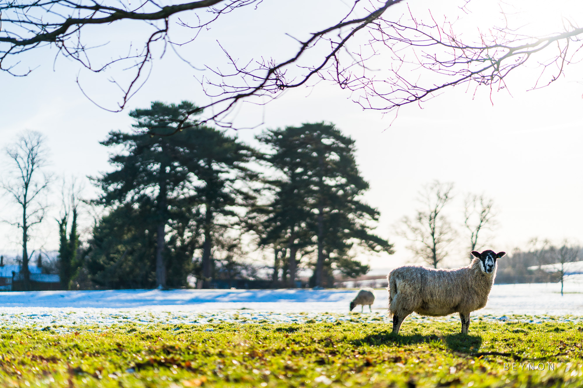 Sheep in the snow outside Dumbleton Hall